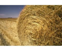 Пшеница продовольственаая 3 класса, т